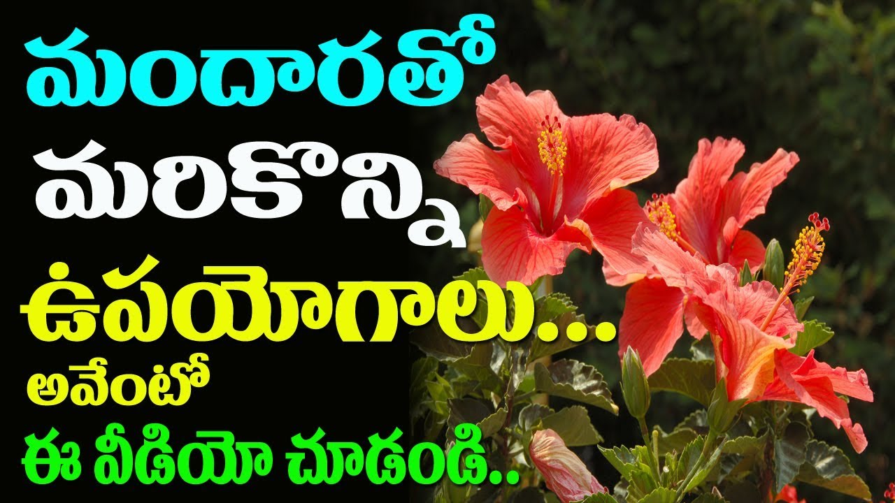 Benefits Of Shoe Flower Health Benefits Of Hibiscus Flower