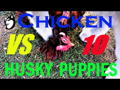 Chicken Flies Into The Husky Den: 9 Husky Puppies Feed On a Chicken (RAW)