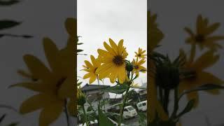 黄色い花黒砂台 thumbnail
