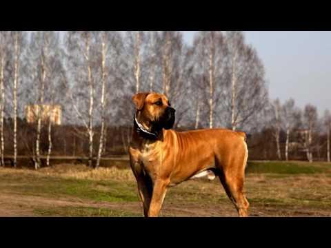 Порода собак. Бурбуль. Красивый пес  с невероятной силой и мощью