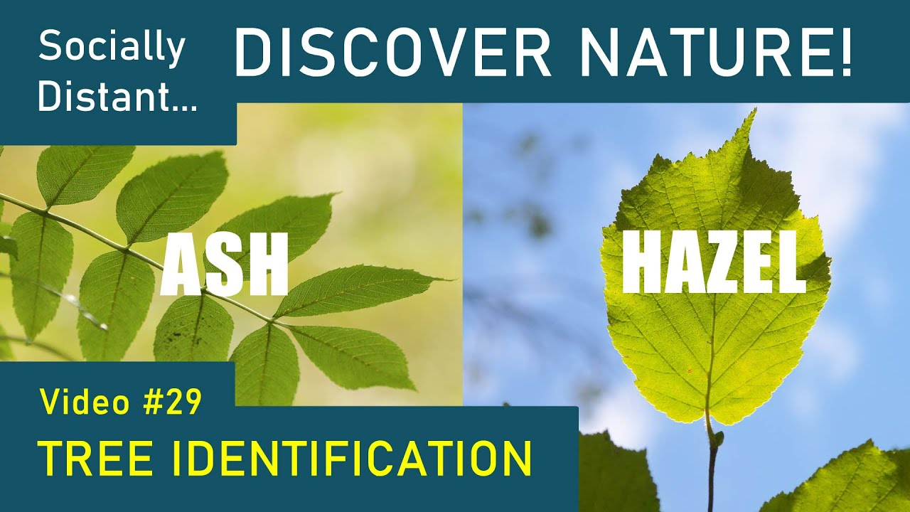 How to identify trees: Ash and Hazel - Discover Nature #29
