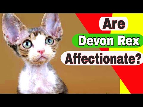 Are Devon Rex cats affectionate? Are Devon Rex cats rare?
