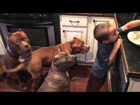 Young 4 year old  leader feeding GIANT PIT BULL THE HULK & family