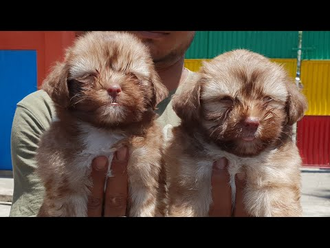 Apr 2019: Lhasa Apso Puppy for Sale in India. Health Lhasa Apso Puppies video