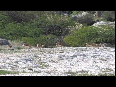 Under the scorching sun of Iran: Gazelles of Khark