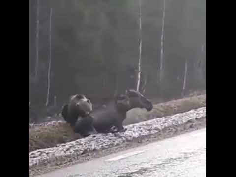 Нападение медведя на лося. Камчатка