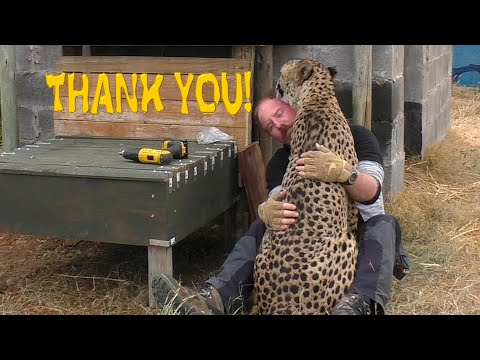 african cheetah thanks man for building stair steps to help his limbs big cat breeding project