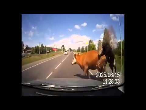Tremendo incidente con una mucca