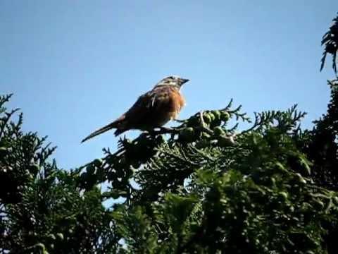 白変種ホオジロ♂囀り・鳴き声( leucism ) (Meadow Bunting・Emberiza cioides )( song )