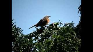 白変種ホオジロ♂囀り・鳴き声(leucism)(Meadow Bunting・Emberiza cioides)(song)