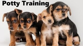 How To Potty Train A Chorkie Puppy - Chorkie House Training Tips - Housebreaking Chorkie Puppies
