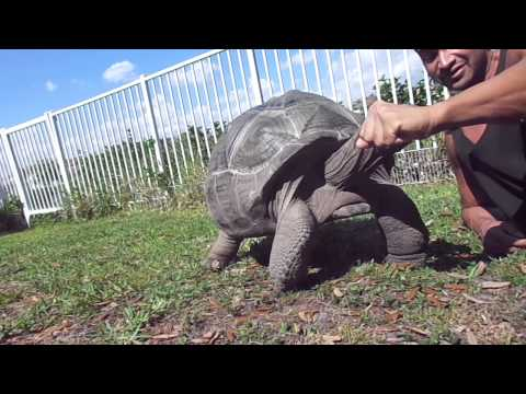 Fun with Godzilla my Aldabra Pet Tortoise