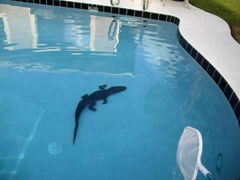 Michael Lauer Alligator In My Pool 1 Youtube