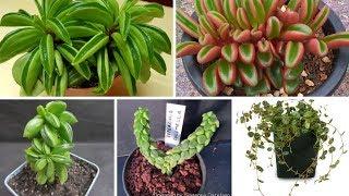 Apresentando 6 espécies de plantas suculentas da família Piperaceae