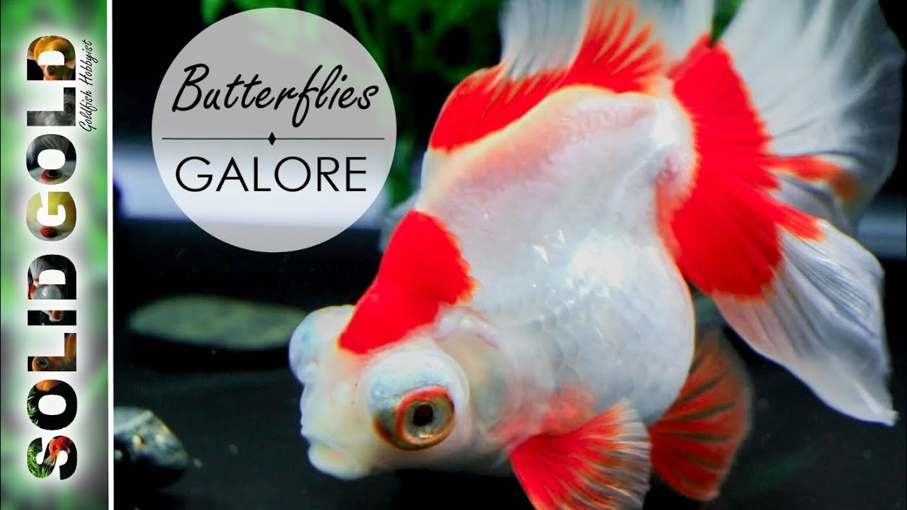butterfly telescope goldfish in hd youtube fish room air pump fish room lighting