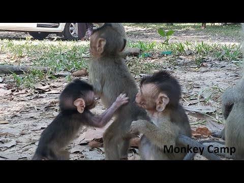 Thumbnail: Baby monkey life in Angkor very cute, Real life of baby monkey, Monkey Camp part 518