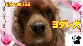 お菓子が食べたくてヨダレをたらしちゃうアン。 恒例の犬ダンゴ。 犬(...