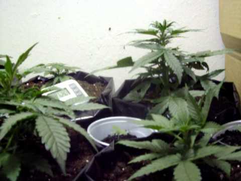 Jebz autoflower grow update 4