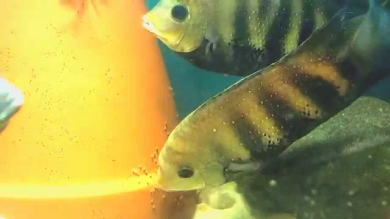 Green Chromides/ Etroplus suratensis New Pair Breeding - YouTube