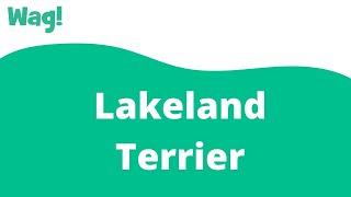 Lakeland Terrier | Wag!