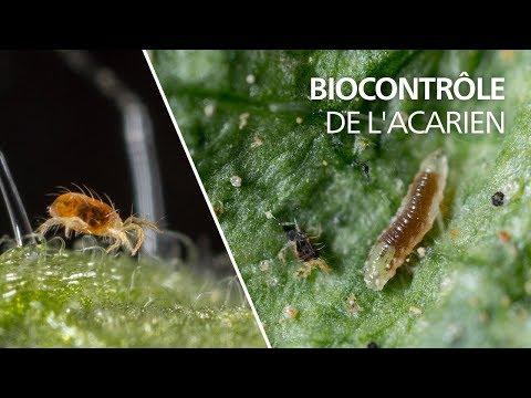 Biocontrôle de l'acarien tétranyque avec la cécidomyie Feltiella acarisuga