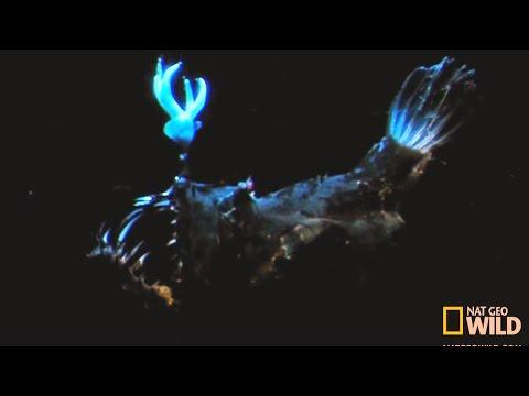 Anglerfish (Anglerfish Attacks Fish)