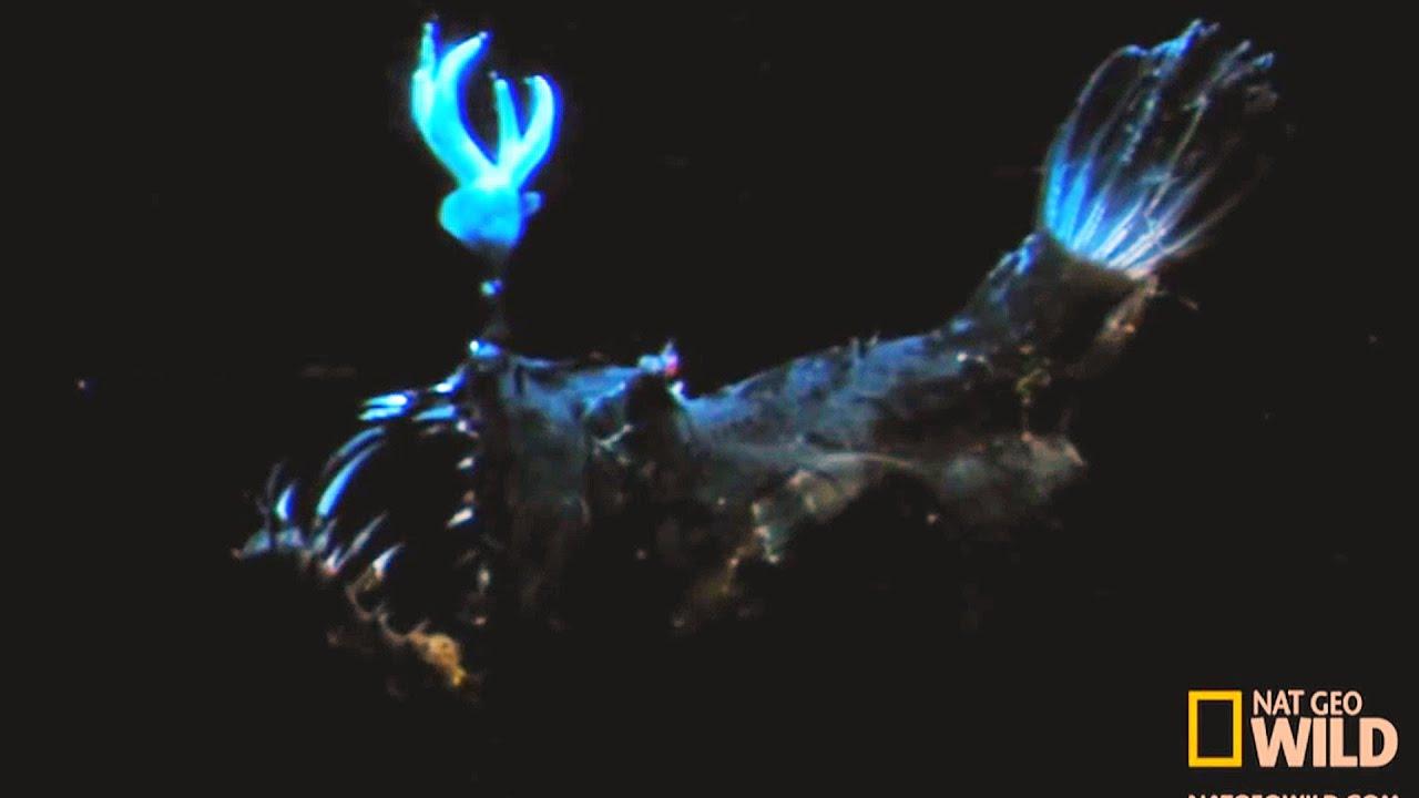 Anglerfish - anglerfish with repulsive appearance 80