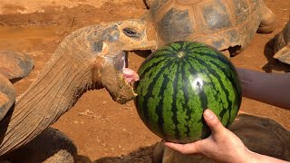 Giant tortoise eats a watermelon