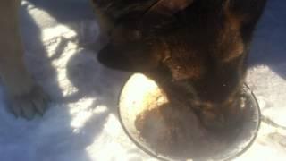 Овчарка с аппетитом кушает кашу