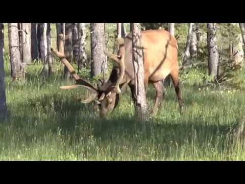 Yellowstone   7 July '14   Elk Encounter #5