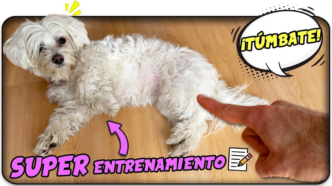 ¿Cómo ser un SUPER ENTRENADOR de PERROS?🤩 ¡Aprende con Anima Dogs!
