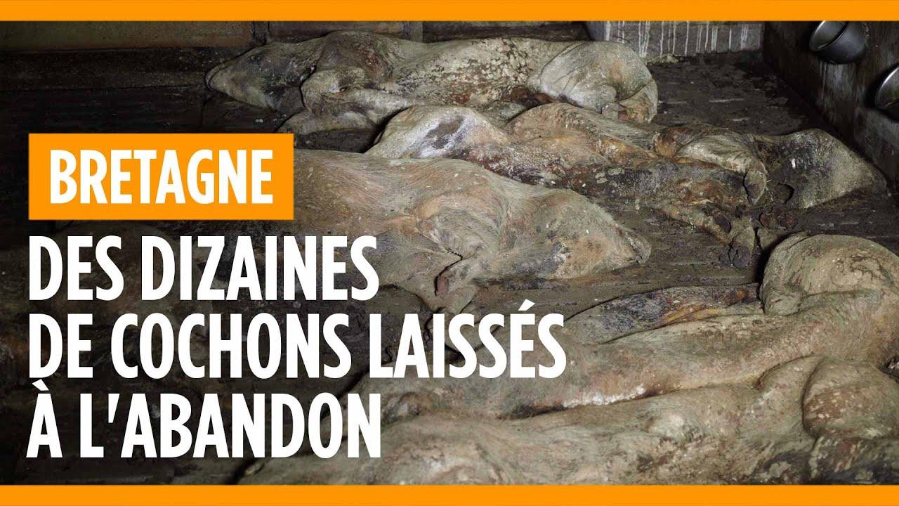 Élevage laissé à l'abandon, tous les cochons sont retrouvés morts
