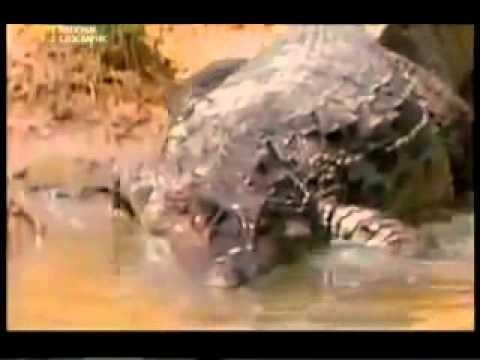 Electric Eel Vs Crocodile (Amazonian Cayman) - YouTube