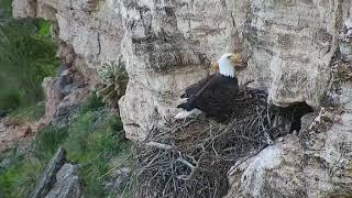 Eagles Prepping the Nest
