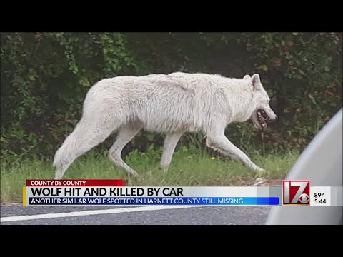 Fisher - Watch Out In NC:  An Escaped Artic Wolf Is On The Loose