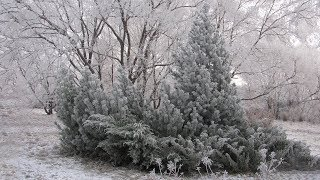 Зимний сад  Зимостойкие растения для сада