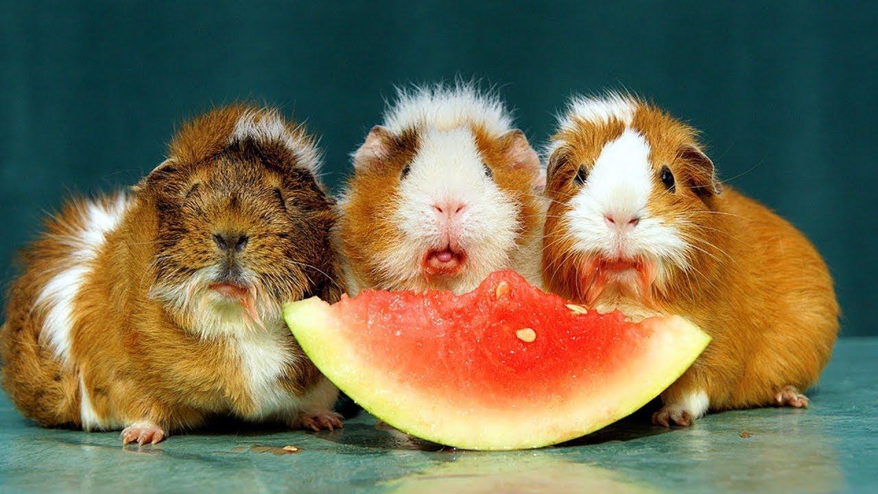 картинки про свинок и еду часть шестого сезона