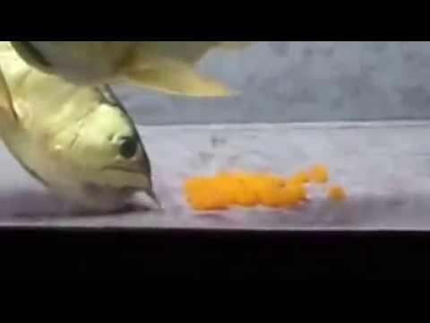 ปลามังกรอมไข่