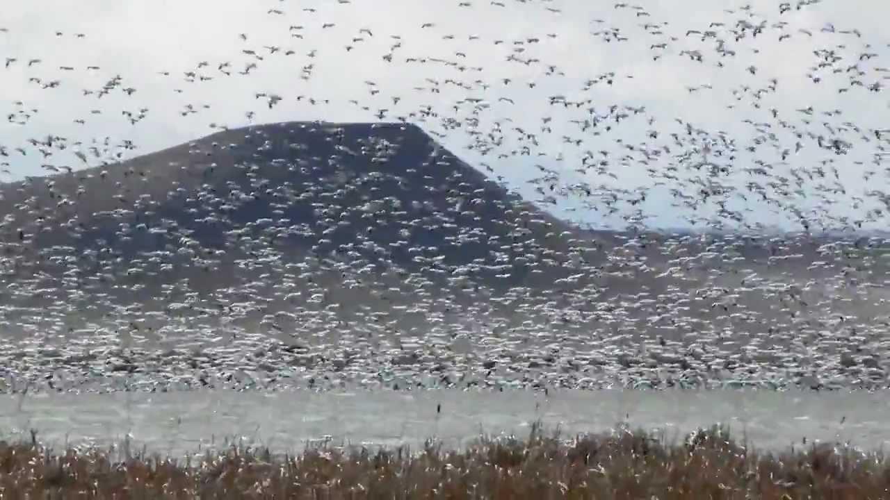 Snow Goose Migration of 2013- Freezout Lake Montana - YouTube