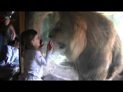 Un LEU are o REACȚIE INCREDIBILĂ în fața fetiței!