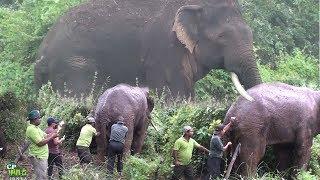 Injured Huge Tusker !