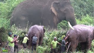 Injured Huge Tusker ! thumbnail