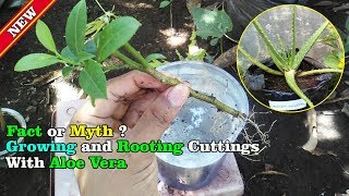 Aloe Vera For Natural Rooting Hormone | Fact Or Myth: Part#3 by Grafting Examples