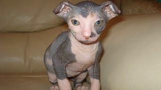 И ЗА ЧТО ИХ ЛЮБЯТ?! Лысые породы кошек