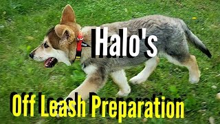 10wk Halo's Training for Off Leash Hikes
