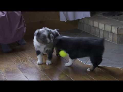 Wayne Miller's Mini Australian Shepherd Puppies