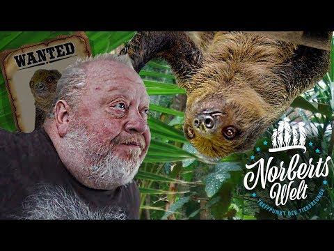 FAULTIER FRIEDA ist verschwunden! | Ist das Faultier wirklich so faul? | NORBERTS WELT | Zoo Zajac