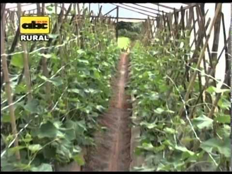 Cultivo de pepinos en invernadero youtube - Plantas aromaticas en casa ...