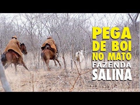 PEGA DE BOI NO MATO NA FAZENDA SALINA EM PIO IX-PI