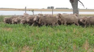 """Carneros Raza Merino Australiano de """"El Totoral"""", Salto, Uruguay Video 1"""